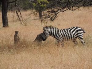 Zebra chasing off two Cheetah's